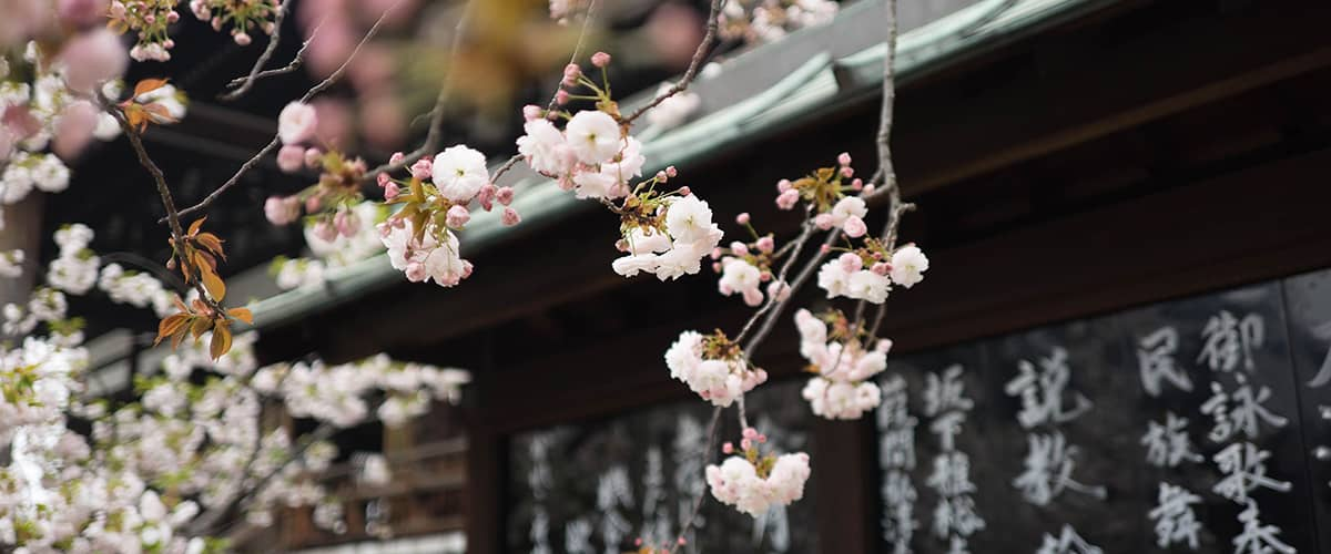 partire a aprile: sakura in Giappone
