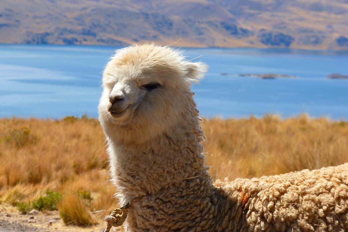 Alpaca: l'animale dalla lana pregiata Somiglianze e differenze rispetto al lama