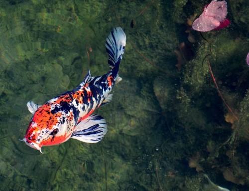 Carpa Koi: il pesce simbolo del Giappone Il pesce vivente più vecchio al mondo