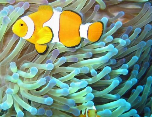 """Pesce pagliaccio: il piccolo abitante del mare Il protagonista del cartone animato """"Alla ricerca di Nemo"""""""