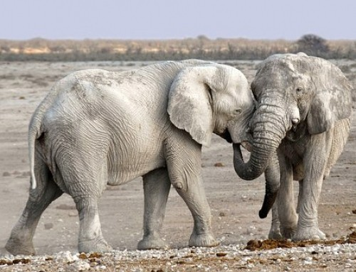 Elefante africano: uno dei big five Il ruolo dell'uomo nella salvaguardia di questi splendidi animali