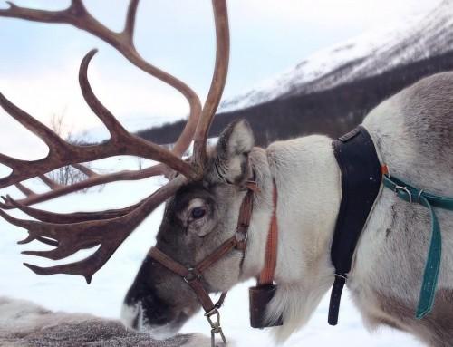 Renna: caratteristiche e curiosità L'animale simbolo del Natale